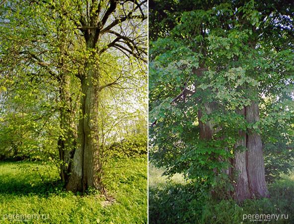 Чудесная липа в разные сезоны. Стволы этого одинокого дерева причудливо срослись. В левом нижнем углу правой фотографии можно разглядеть тропинку. След хороводных игр взрослых людей?