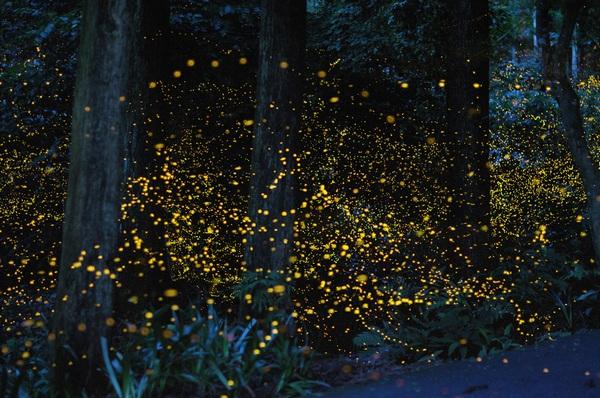 Жуки-светляки