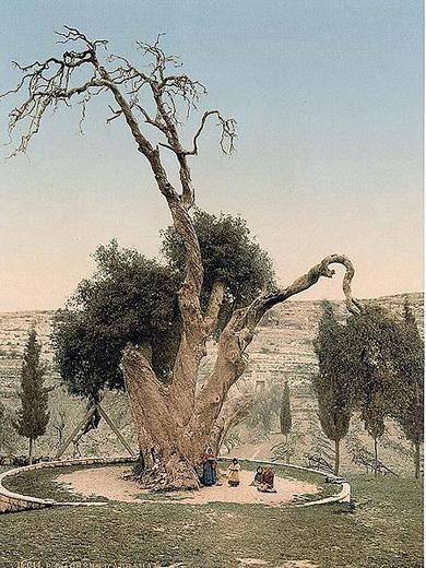 Мамври́йский дуб, последнее дерево, оставшееся  от дубравы Мамре. Возраст дерево около 5 000 лет. Находится на территории русского монастыря Святой Троицы, в 3 км северо-западнее пещеры Махпела, в Хевроне, на Западном берегу реки Иордан, в Палестинской автономии