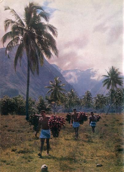 4. Там, где лучше сохранились старые обычаи и нравы, по субботам мужчины забираются в горы за дикими красными бананами. Они приносят домой огромные грозди на неделю, чтобы было чем заедать рыбу.