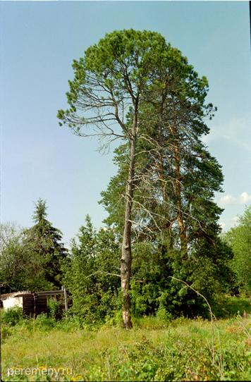 Дерево на Дедовом острове, фото: Олег Давыдов