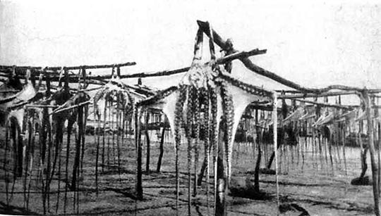 Сушат пойманных осьминогов