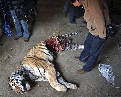 Реальный случай. Тигр, загрызенный своим товарищем (или товарищами). Съедено самое вкусное: кишки