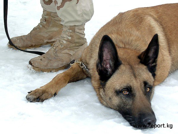 Боевая собака армии США на авиабазе в Манасе