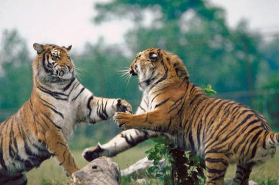 Игры тигров