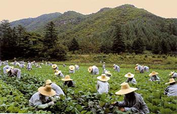Буддистские монахи работают на плантации в Корее