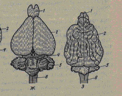 Вихреобразная структура мозга млекопитающих