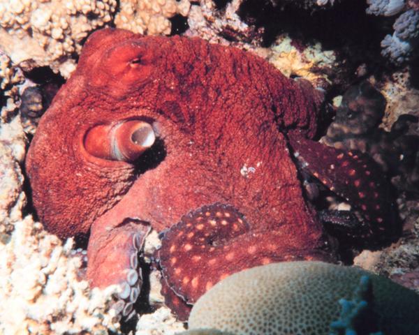 Цвет осьминога меняется в зависимости от настроения