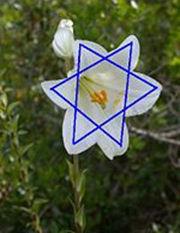 Лилия как символ иудейской звезды Давида
