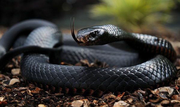 Краснобрюхая черная змея