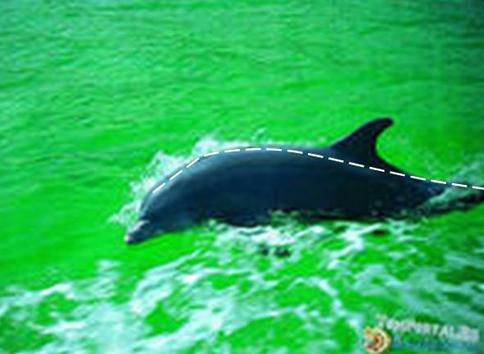 Рис. 13. Сравнение формы тела дельфина с теоретической кривой распределения энергии турбулентности по его длине