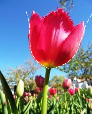 Рис. 14. Сравнение формы цветка тюльпана с теоретической кривой распределения энергии турбулентности по его длине
