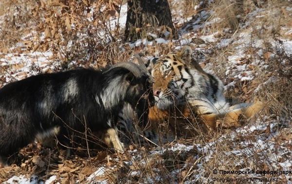 Самым таинственным символом уходящего года Козла (вариант - Барана), несомненно является любовь, возникшая между тигром Амуром и предназначенным ему в жертву (на пожрание) козлом Тимуром. Этот символ настоятельно требует истолкования