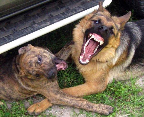 Страшные собаки