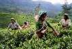 Шри-Ланка, зеленый чай, Цейлон