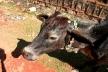 Гокарна фото, Индия фото, Карнатака фото, Гоа фото, корова