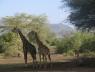 Танзания, животные, животные Танзания, флора и фауна Танзании, племена Танзании