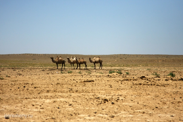 Верблюды в степи